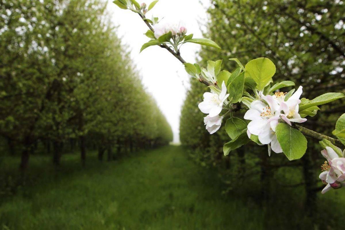 Apfelblte-2-5-2015-kl