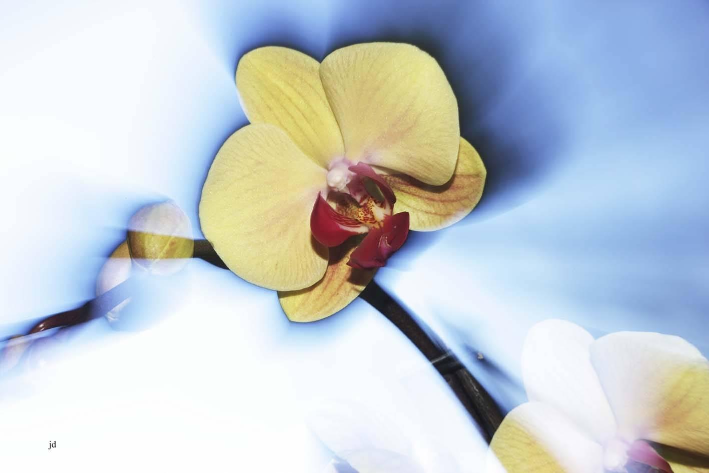 Gelbe-Orchi-3-web